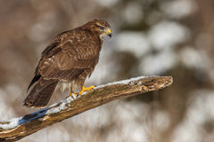 Buzzard on a branch Royalty Free Stock Photo