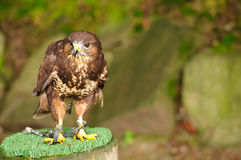 Buzzard on a branch in chains Royalty Free Stock Photos