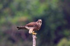 buzzard butastur смотрел на серое indicus хоука Стоковая Фотография