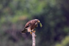 buzzard butastur смотрел на серое indicus хоука Стоковое фото RF