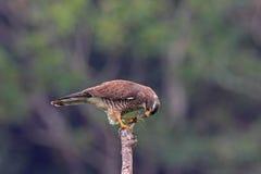 buzzard butastur смотрел на серое indicus хоука Стоковая Фотография RF