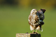 buzzard buteo Стоковое Изображение