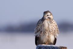 buzzard buteo Стоковая Фотография RF