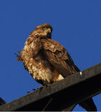 Buzzard / Buteo buteo Stock Photography