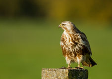 Buzzard ( buteo buteo ) Royalty Free Stock Images