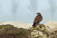 Buzzard ( buteo buteo ) Royalty Free Stock Photography