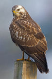 Buzzard ( buteo buteo ) Stock Images