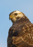 Buzzard ( buteo buteo ) Stock Photo