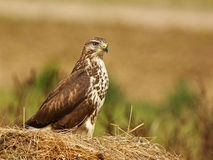 Buzzard ( buteo buteo ) Royalty Free Stock Photo