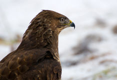Buzzard - Buteo buteo Royalty Free Stock Photo