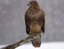 Buzzard - Buteo buteo Stock Photography