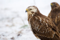 Buzzard - Buteo buteo. Beautiful bird of prey Stock Images