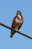 Buzzard or Buteo buteo. Looking around Stock Images