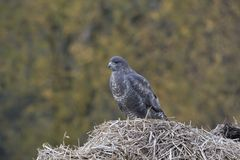 Buzzard, Buteo buteo, perched, sat on a pile of manure in a field with autumn coloured background. stock photography