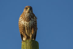 Buzzard Buteo buteo. Perched on wooden post Stock Image