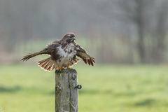Buzzard buteo buteo Royalty Free Stock Photography