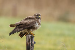Buzzard buteo buteo Royalty Free Stock Image