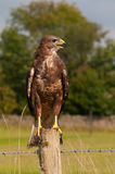 Buzzard (buteo do Buteo) Imagem de Stock Royalty Free
