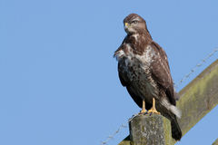 Buzzard (buteo do buteo) Fotografia de Stock