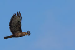 Buzzard Calls in Flight Royalty Free Stock Images
