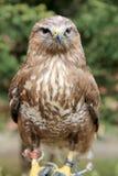 Buzzard che si siede sulla mano del suo falconiere sconosciuto fotografia stock libera da diritti