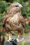 Buzzard che si siede sulla mano del suo falconiere sconosciuto immagini stock