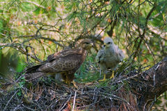Buzzard with chick in nest Royalty Free Stock Image