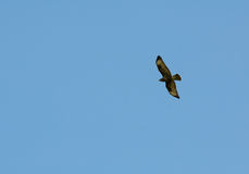Buzzard common Buteo buteo Royalty Free Stock Photography