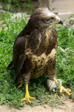Buzzard commun Photos libres de droits