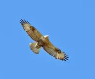 Buzzard commun Image libre de droits