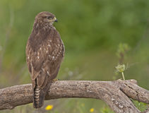 Buzzard commun Images stock