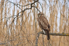 Buzzard commun (buteo de Buteo) Images libres de droits