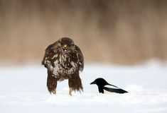 Buzzard commun et pie image stock