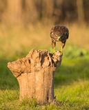Buzzard commun sur le log photographie stock