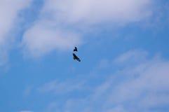 Buzzard comum Fotografia de Stock