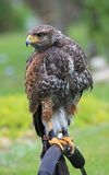 Buzzard comum (buteo do Buteo) Fotos de Stock