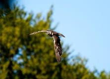 Buzzard comum no vôo Foto de Stock