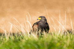 Buzzard dans le sauvage Photos stock
