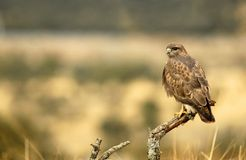 buzzard on a dead branch Stock Photography