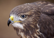 Buzzard - detail of the head Royalty Free Stock Image