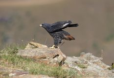 Buzzard do Jackal Fotografia de Stock