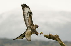 Buzzard eagle approaches the innkeeper Royalty Free Stock Image
