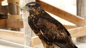 Buzzard-eagle Geranoaetus melanoleucus stock video