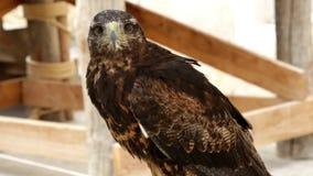 Buzzard-eagle Geranoaetus melanoleucus stock footage