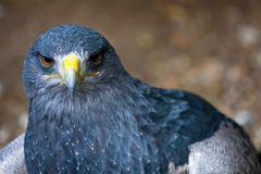 Buzzard eagle - Geranoaetus melanoleucus Royalty Free Stock Photo