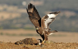 buzzard eagle with a hare in the field Stock Image