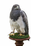 Buzzard Eagle Isolated Royalty Free Stock Photography