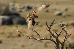 Buzzard eagle landing Royalty Free Stock Image