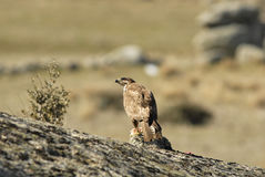 A buzzard eagle looking Stock Images