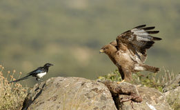 Buzzard eagle and magpie facing Stock Photography